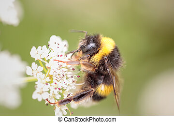 Bumblebee sucking pollen from a flower in a portuguese...