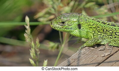 Sand Lizard Close Up - Sand Lizard, Lacerta Agilis Basking...