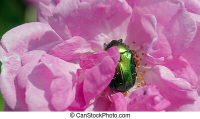 Green Beetle On The Rose - Green Beetle Cetonia Aurata On...