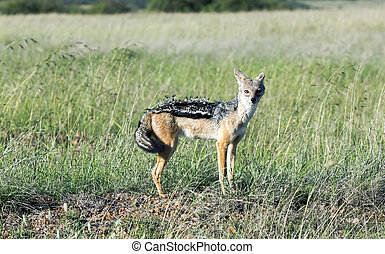 A young male Black Backed Jackal Canis mesomalas in Maasai...