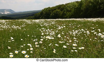 nature Chamomile field flower summer nature