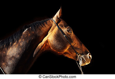beautiful portrait of bay purebred akhal-teke stallion at black background