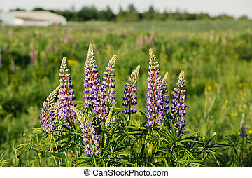 Blooming lupins flowers in summer sunset