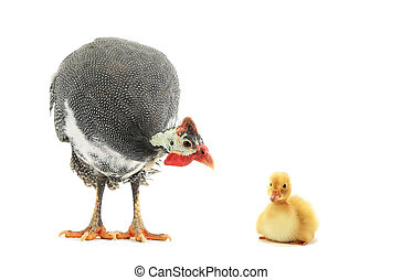 Guinea fowls and small chicken duck isolated on a white...