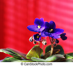 Violet on red - Violet with green leaves in a pot on a red...