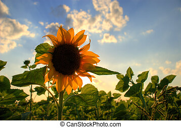 Sunflower under the blue sky with sun and clouds
