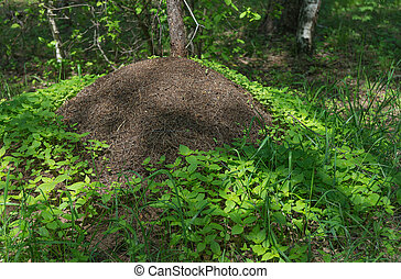 Big anthill in forest - Big anthill with colony of ants,...