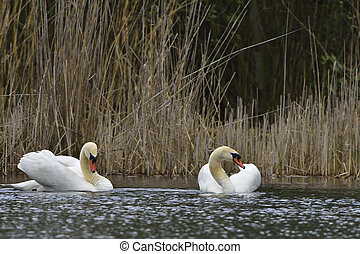 Mute swan in love on a lake