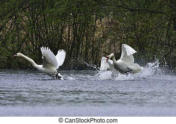 Mute swan in fight