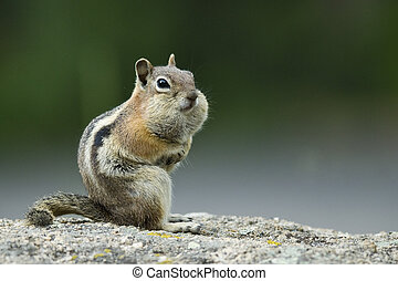 Chipmunk with mouthful - A chipmunk with his mouth full with...