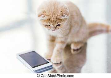 close up of scottish fold kitten with smartphone - pets,...