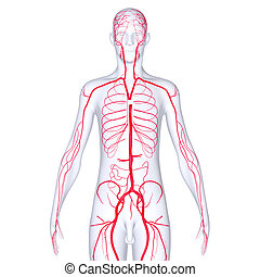 Body Arteries - Arteries are blood vessels that carry blood...