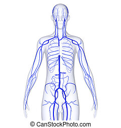 Body Veins - Veins are blood vessels that carry blood toward...