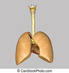 Lungs - The lungs are the primary organs of respiration in...