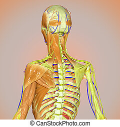 Muscles and skeleton back - The human skeleton is the...