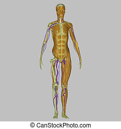 Human body muscles - The human body is the entire structure...