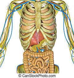 Skeleton and digestive system - The human digestive system...