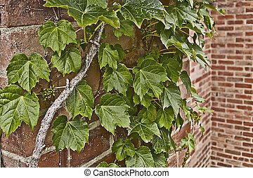 Ivy and Brick Wall - Ivy growing on a brick wall