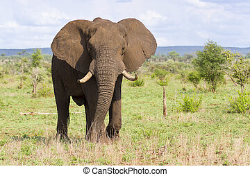 Big elephant bull with large tusks approaching over a plain