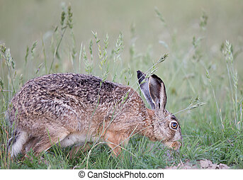 Wild rabbit in grass - Wild rabbit sniffing in high grass in...