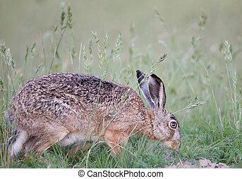 Wild rabbit in grass - Wild rabbit sniffing in high grass in...