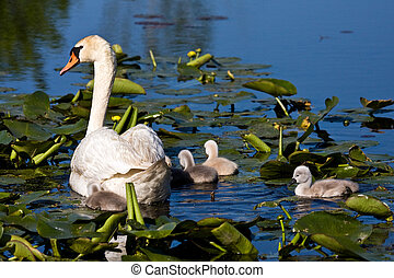 Mute Swan and Baby Cygnets In Pond - Adult Mute Swan and...