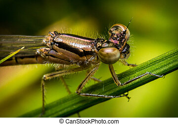 Macro Damselfly Eyes - Extreme close up macro colorful...