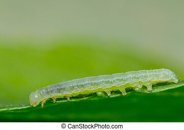 Green Inch Worm - Close up macro green inch worm on summer...