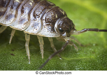 Pill Bug Armadillidiidae - Purple Roly Poly pill bug on...