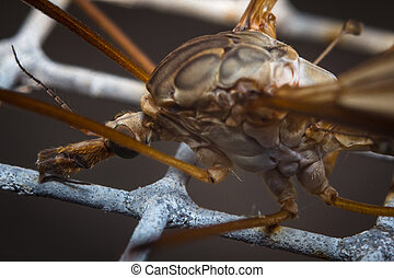Crane Fly Macro - Close up macro of large crane fly or...
