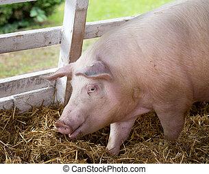 Large white swine on farm - Large white swine Yorkshire pig...