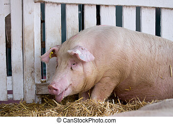 Panting pig in pen - Panting pig (Large white swine) on...