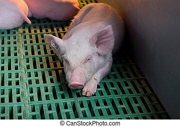 Piglet sleeping on plastic flooring - Cute piglet sleeping...