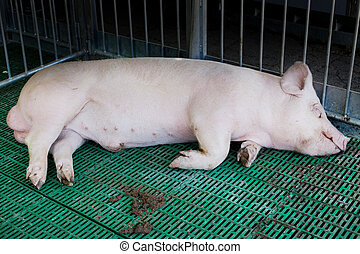 Domestic boar sleeping in pigpen - Boar Large white swine...