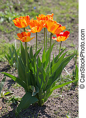 orange tulips in the spring