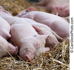 Piglets sleeping on straw - Close up of cute piglets...
