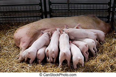 Sow with piglets nursing - Fertile sow lying on straw and...