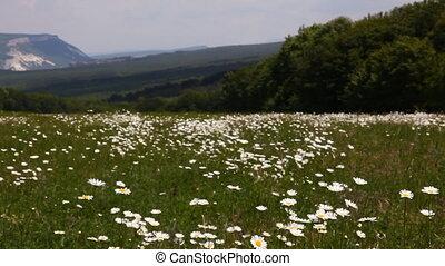 nature Chamomile field