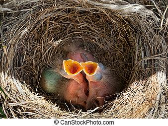 Baby blackbirds in the nest - Newborn baby blackbirds in...