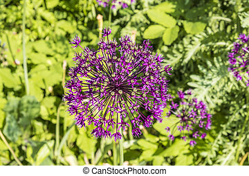 Purple flower of allium gladiator on green background