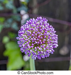 pink Allium sphaerocephalon Allium Drumstick, also known as...