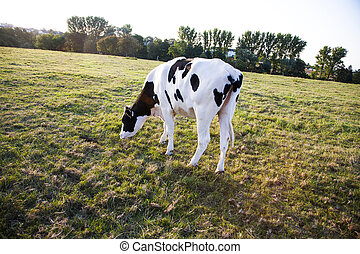 Holstein cows in sunset at a meadow with fresh grass