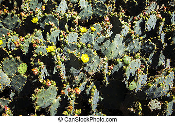 Cacti - Close view of the cactus plant in nature