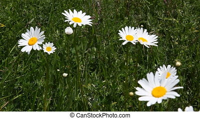 nature Chamomile field