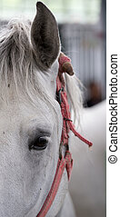 Lipizzaner horse eye - Close up of horse eye. Frontal view....