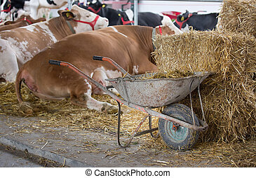 Wheelbarrow with manure in front of cows - Wheelbarrow full...
