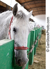 Lipizzaner horse head - Closeup of a head of the white...