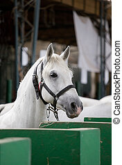 Lipizzaner horse portrait - Closeup of a head of the white...