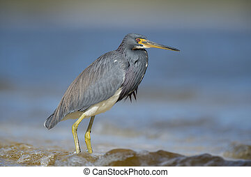 Tri-colored Heron - A Tri-colored Heron stands in the...