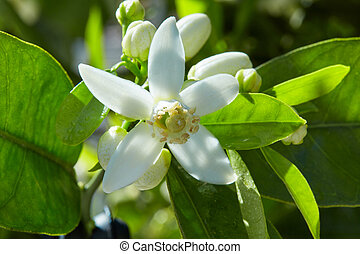 Orange blossom flowers in mediterranean tree - Orange...